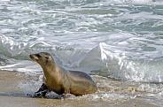 California Seal lion