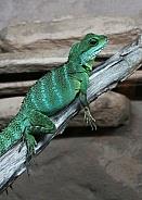 Chinese Water Dragon Lizard