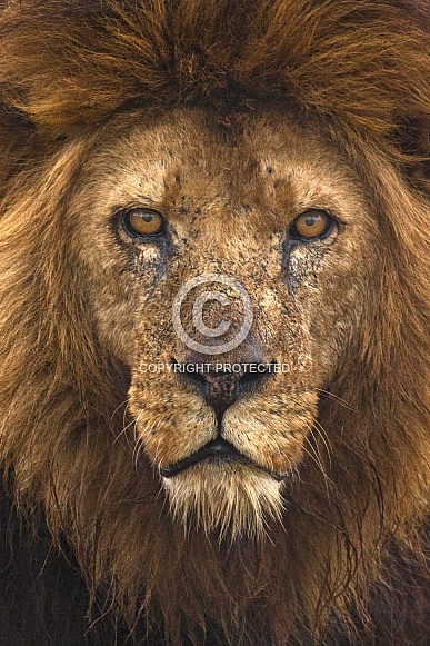 African Lion Male Face Shot Close Up
