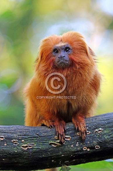 Golden lion tamarin (Leontopithecus rosalia