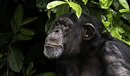 Chimpanzee Looking Up With Natural Leaves Around Her