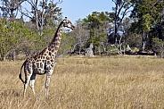 Giraffe - Savuti - Botswana