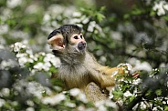 Squirrel monkey youngster (saimiri)