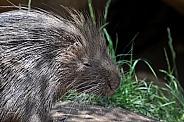 Old World Porcupine