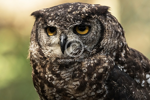 African Spotted Eagle Owl Face Shot