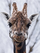 Giraffe Front On Face Shot