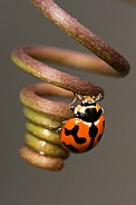 Transverse Ladybird on tendril