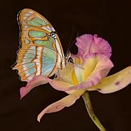 Butterfly - Malachite on Open Flower