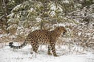 Amur Leopard - Growling