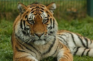Amur Tiger Resting Close Up