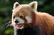 Red Panda Close Up Mouth Open