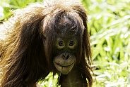 Bornean Orangutan Youngster Close Up
