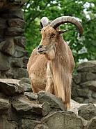 Barbary goat (Ammotragus lervia)