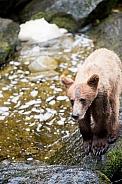 Wild Grizzly bear cub