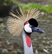 Black-crowned Crane