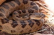 Crotalus atrox, western diamondback rattlesnake