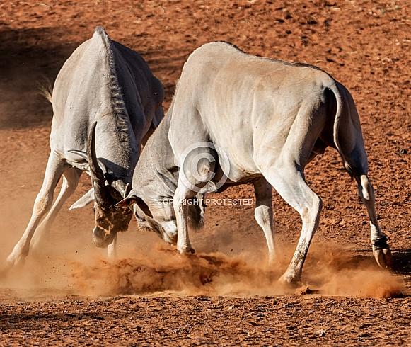 Eland Bulls Fighting