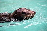 Californian Sea Lion (Zalophus californianus)