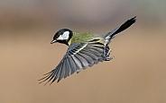 A Great tit in flight