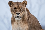 Close up of African Lioness