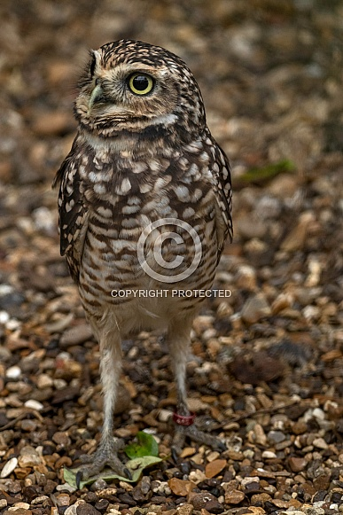 Burrowing Owl Standing Tall Alert