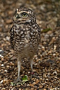 Burrowing Owl Standing Tall Alert