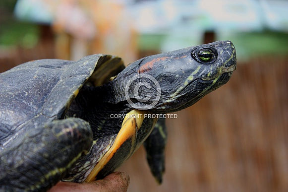 very old red-eared slider, portrait