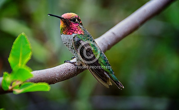 Hummingbird - Anna's with Nectar on Beak