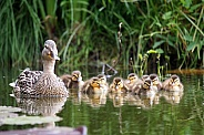 Mallard mother duck with her ducklings