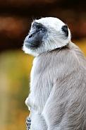 Gray Langur / Hanuman langur