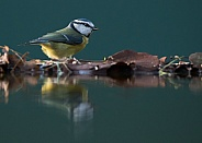Reflected Blue Tit 2