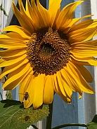 Sunflower - Helianthus annuus