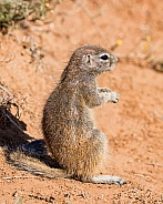 African Ground Squirrel