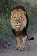 Kgalagadi Male Lion