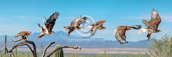 Ferruginous Hawk Flight Sequence  (Buteo regalis)