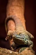 Rock lizard