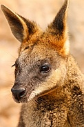 Black Palmed Rock Wallaby