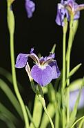 Wild Iris growing in Alaska