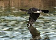 Juvenile Cormorant in Flight