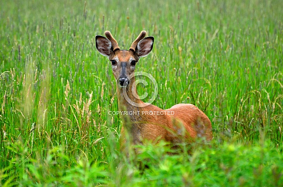 White-Tailed Deer - Buck