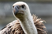 Griffon Vulture Close Up