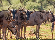 Blue Wildebeest Family Group