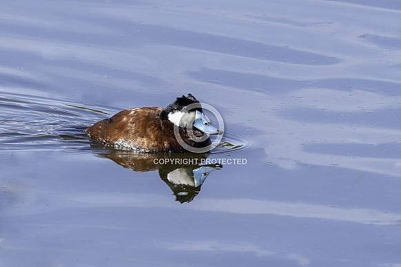 Ruddy Duck Male in Breeding Color