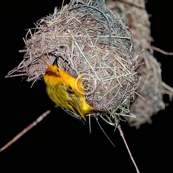 Teveta Golden Weaver