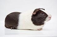 Chocolate Dutch Guinea Pig