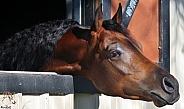 Over the Stable Door- Arabian Stallion