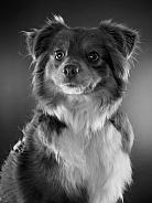 american shepherd dog