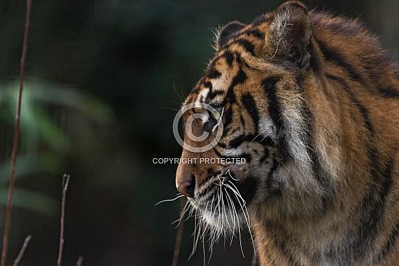Sumatran Tiger Side Profile