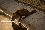 Red fox drinking water