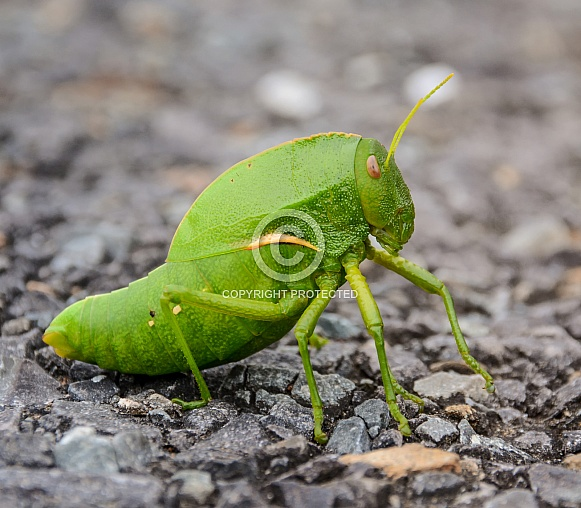 Green Bladder Grasshopper